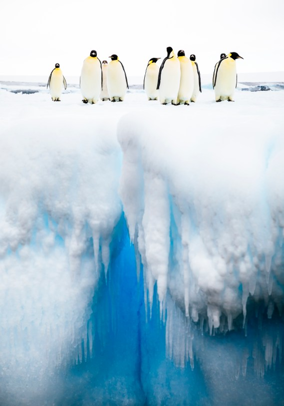 Emperor Penguins on an iceberg, Bay of Whales, Ross Sea, Antarctica