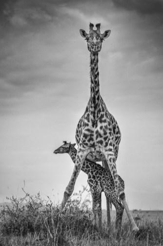 05.Federico Veronesi, Giraffe and newborn calf, 2014
