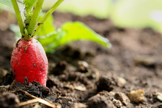 how to build a raised garden bed, growing radishes