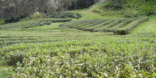 "Hawaiian ""Mauna Kea"" Tea Plantation"