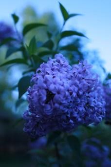 Dusk Lilac