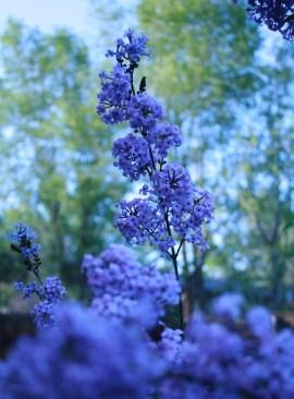 Vertical Lilacs