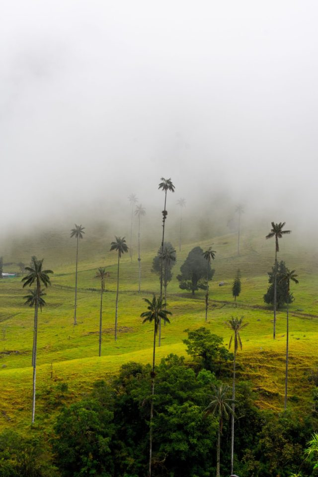 Salento Valle de Cocora Wax Palm Trees