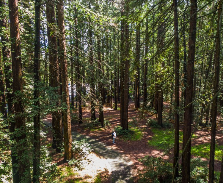 Chabot Redwoods