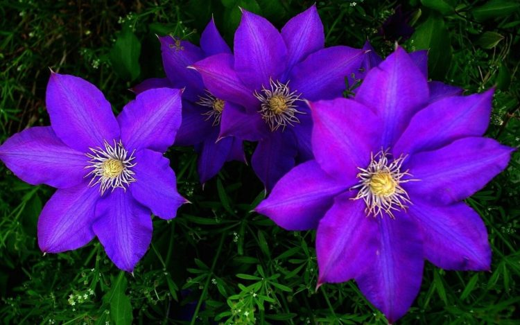 Клематис (Clematis) еще именуемый лозинкой, либо ломоносом, является родом, относящимся к семейству Лютиковые. Клематис представлен травянистыми многолетними либо деревянистыми растениями.