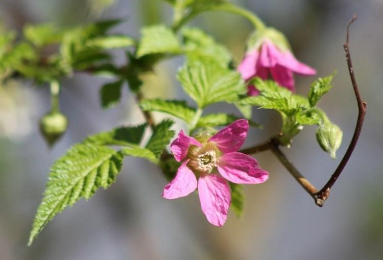 Rubus hoffmeiteriannus