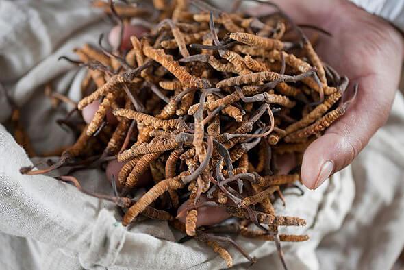 ярсагумба применение чудо грибов в лечении различных заболеваний