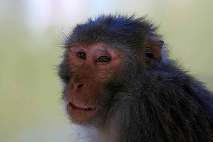 обезьяны ревалсара
