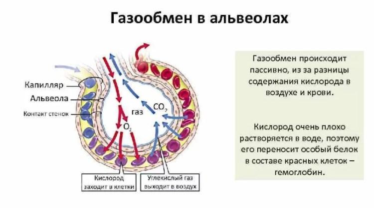 газообмен в альвеолах