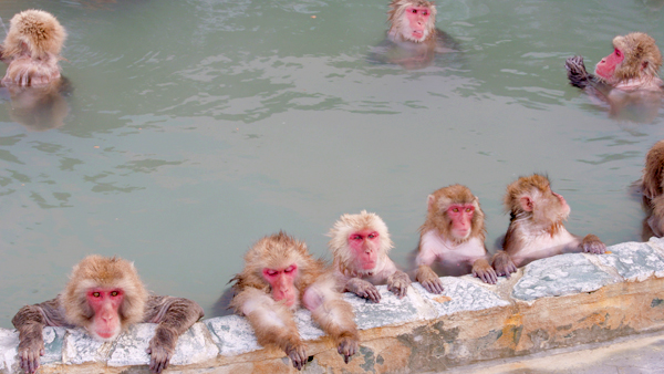 Snow Monkeys Relaxing in a Hotspring. Japanese Macaque Onsen Mon