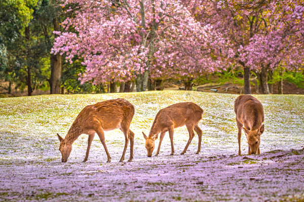 Deers at Nara park during a sunny day in the cherry blossom seas