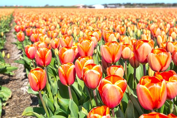 Orange tulips closeup