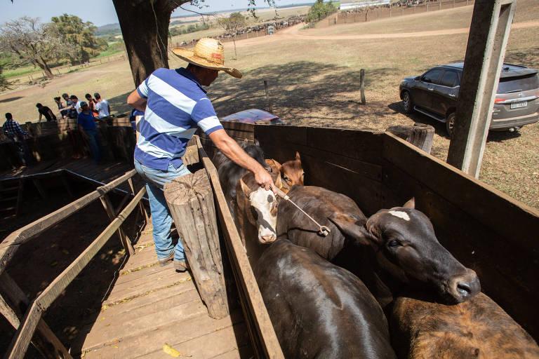 Gado embarca na fazenda Tabaju em Sales, no interior de SP, com destino ao porto de São Sebastião. 5400 cabeças de gado são exportadas de navio para a Turquia em uma transferência que gera polêmica entre defensores dos animais e pecuaristas -
