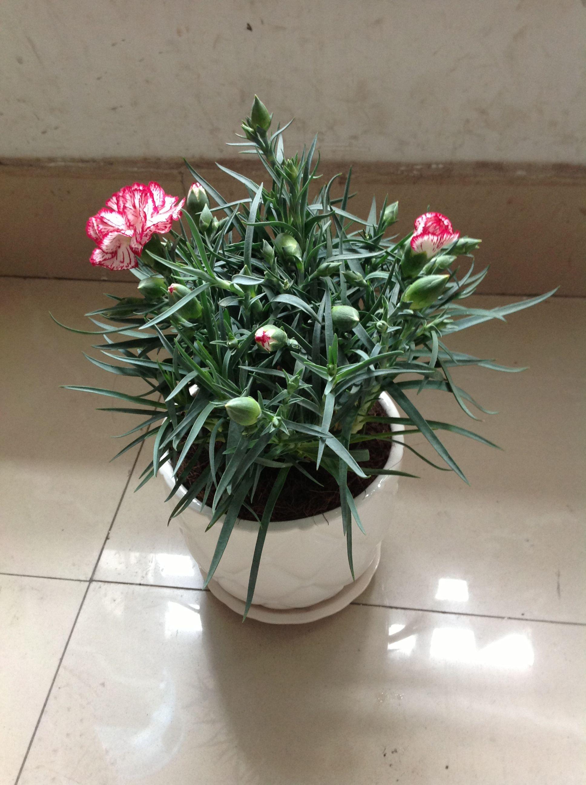 請問怎樣種植正在開花的盆栽康乃馨?_百度知道