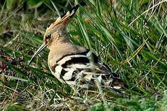 Hoopoe ou poupa, pássaro cujo nome científico é _Upupa epops_; ave foi vencedora de concurso nacional realizado em Israel
