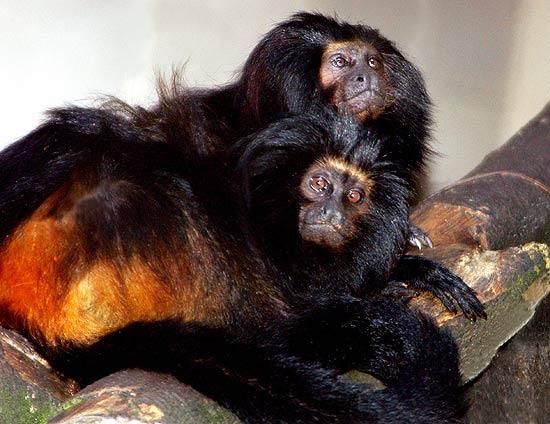 Zoológico de São Paulo apresenta micos raros