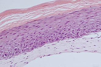 Modelo de pele artificial desenvolvida pela USP constitui estrutura completa tripla e deve ajudar na substituição de animais em testes