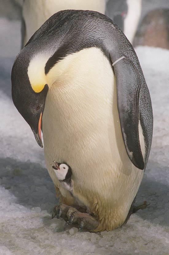 Pinguin (sem trema)