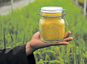 Resultado de imagem para arroz transgenico