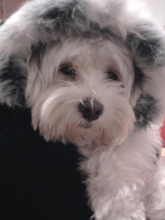 O cachorro Dudu, da veterinária Denise Prado, que foi roubado durante um assalto há um mês, na Grande SP