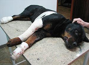 Rottweiler Lobo morreu dias após após ser arrastado por carro em Piracicaba (SP)