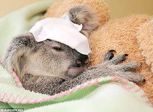 Bebê coala sobrevive a ataque após levar 15 tiros na Austrália; sua mãe não resistiu