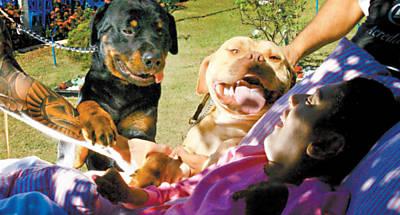 Paciente brinca com Digit (cão rotweiller) e Romeu (pitbull) na entidade Cantinho do Céu, em Ribeirão Preto