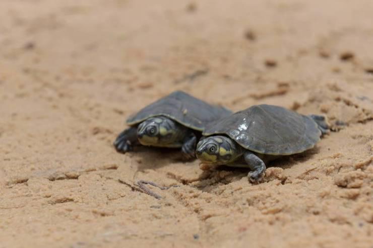 Duas tartarugas nas areias do Tabuleiro de Monte Cristo, Pará