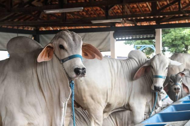 Animais em pavilhões da Expozebu, em Uberaba, que começa neste sábado (27)