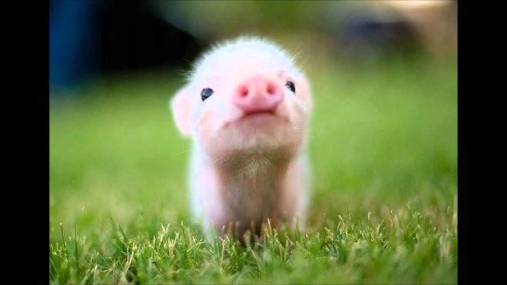 Cute Piglets Wallpaper Leuke Plaatjes Jetenmar Jouwweb Nl