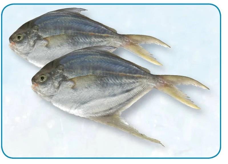 鯧魚 Pomfret   per 10 kg   Prijs p/kg 4,95   nr. 253   telseafood