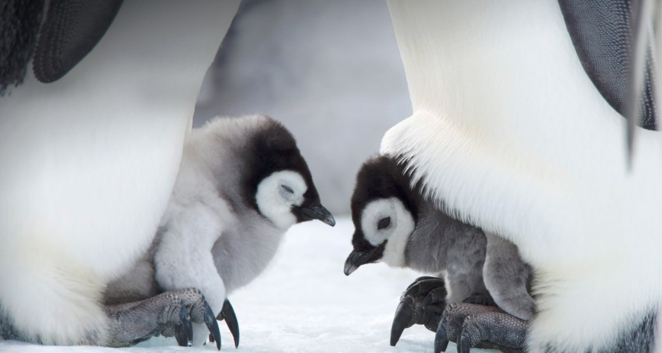 Cute Penguin Wallpaper Desktop Voortplanting Allesover Pinguins Jouwweb Nl