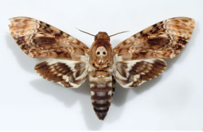 https://i0.wp.com/f00.inventorspot.com/images/deaths-head-hawkmoth.img_assist_custom.jpg