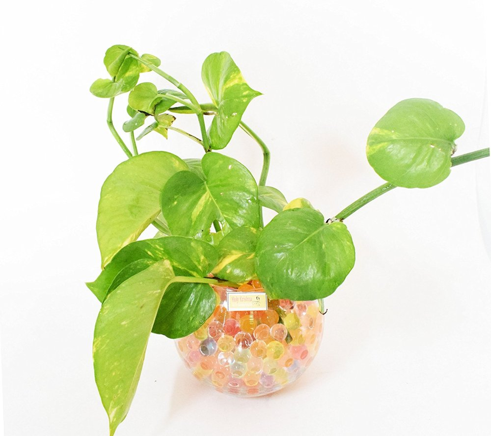 Tanaman Hias Indoor Money Plant