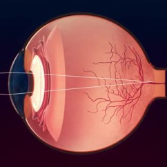 Canine Eye Diagram Right 2006 Subaru Forester Radio Wiring Structure And Function Of The Eyes Disorders Merck Manuals Overview