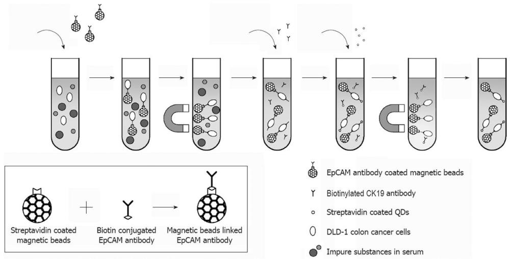 medium resolution of figure 1 circulating tumour cells are separated from the leucocytes using magnetic beads coupled with epithelial cell adhesion molecule antibody and a