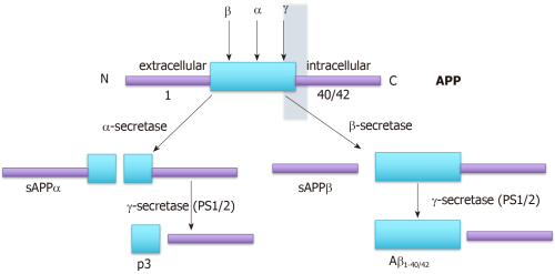 small resolution of figure 1 amyloid precursor protein processing adapted from 80