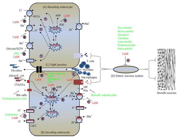 calcium sensing receptor a