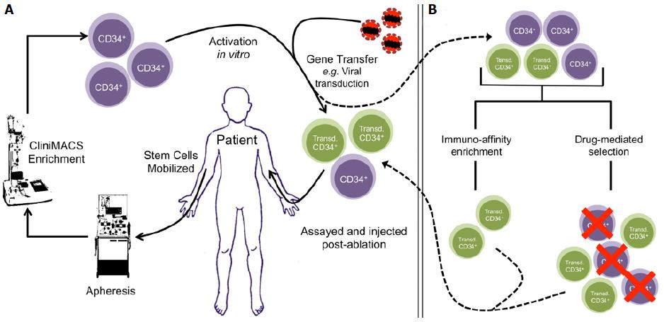 in vivo gene therapy diagram e38 dsp wiring towards amplification overcoming hurdles the use of figure 1 general outline ex hematopoietic stem cell and pre selection methods a cd34 cells are enriched by clinimacs after apheresis