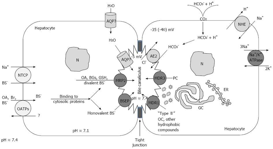 Physiological and molecular biochemical mechanisms of bile