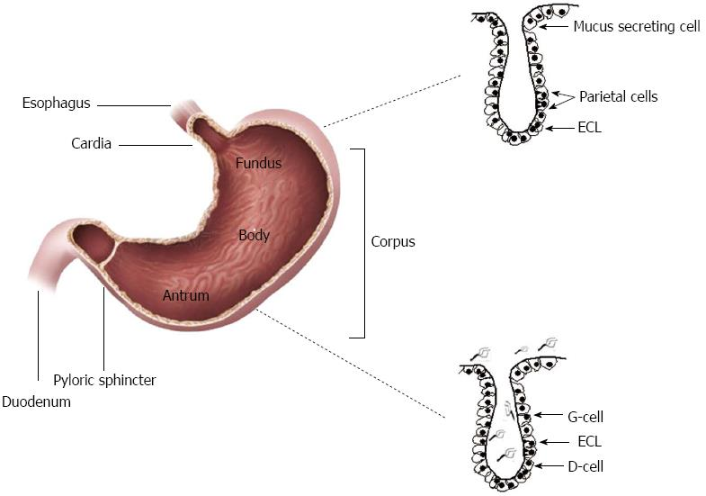 Effect of Helicobacter pylori on gastric epithelial cells