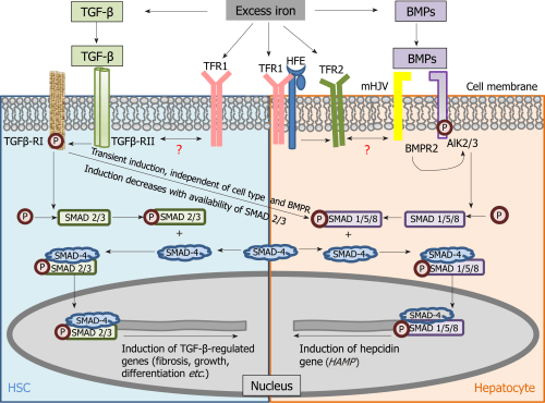 small resolution of figure 2 schematic of mechanistic cross connection between the transforming growth factor beta pathway and bone morphogenetic protein signaling