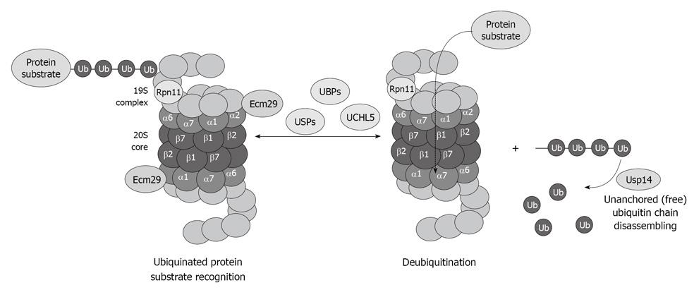Effects of ethanol on the proteasome interacting proteins
