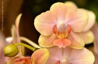 Orchidée (11) - Grandes Serres du Jardin des Plantes (75) - février 2013