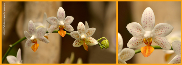 Orchidée (12) - Grandes Serres du Jardin des Plantes (75) - février 2013