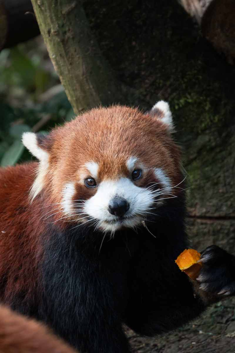 red panda Chengdu