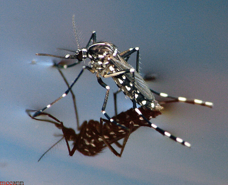 Asian Tiger Mosquito.jpg