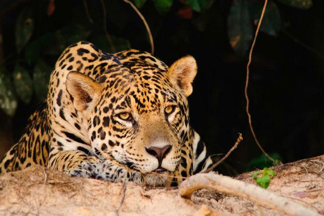 Onça é a vedete do turismo de observação no Pantanal