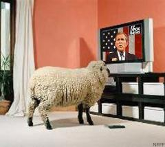 Sheep watching TV