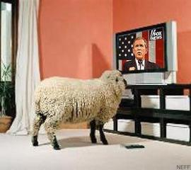 Sheep watching TV